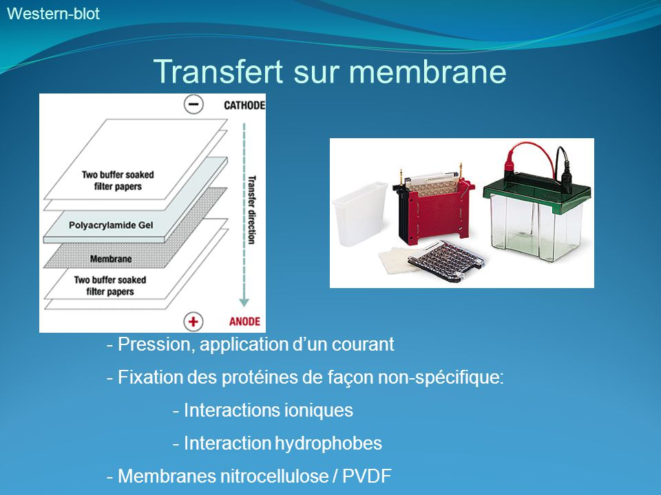 Western-blot Transfert sur membrane - Pression, application d'un courant - Fixation des protéines de façon non-spécifique: - Interactions ioniques - Interaction hydrophobes - Membranes nitrocellulose / PVDF