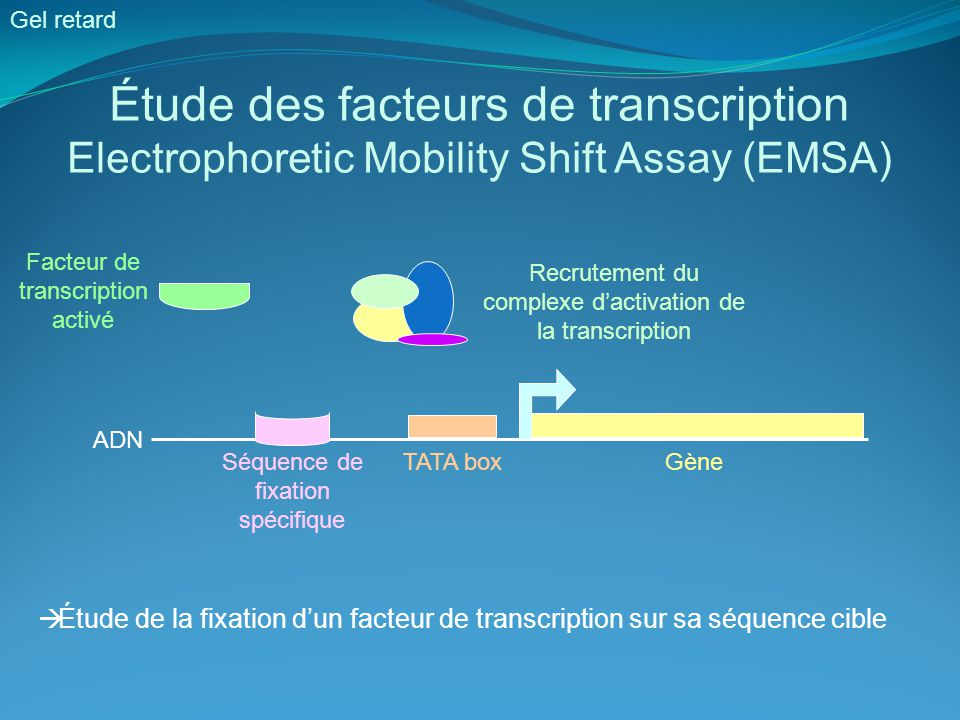 Étude des facteurs de transcription Electrophoretic Mobility Shift Assay (EMSA) Gel retard Facteur de transcription activé Recrutement du complexe d'a