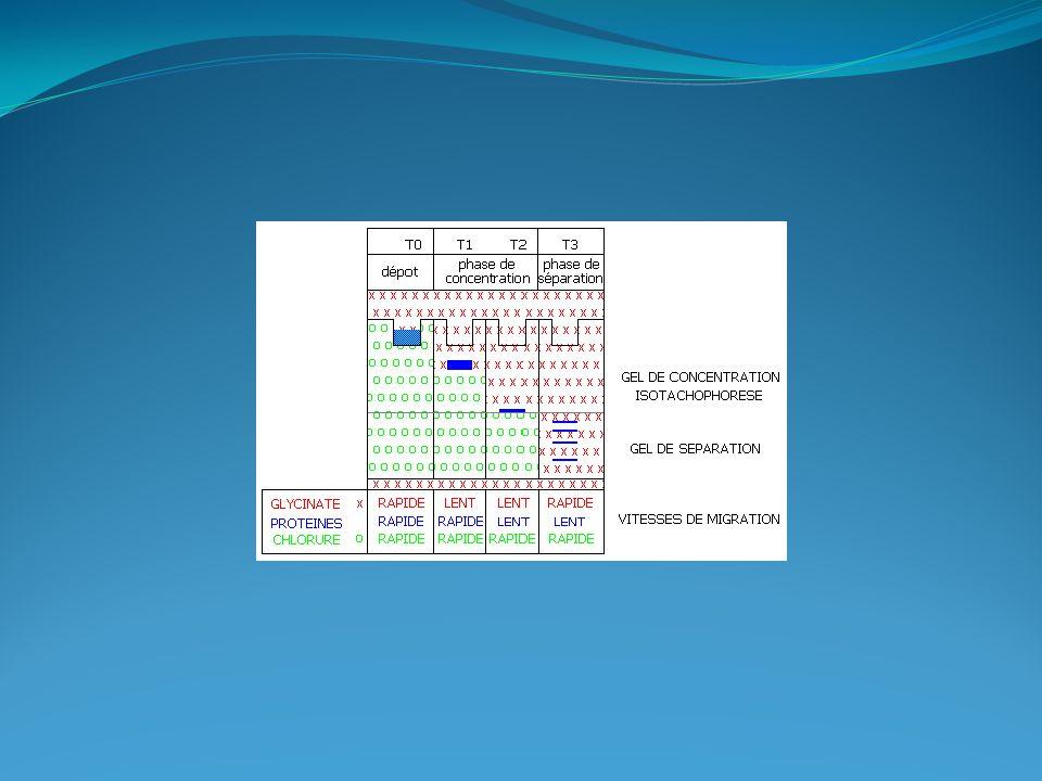 Western-blot Extraction des protéines Echantillon d'origine:  Tissu (foie, cœur, etc…)  Cellules (cultures primaires, lignées cellulaires) Extraction des protéines:  Tampon - PBS/EDTA + Inhibiteurs de protéases - Tris-HCl  Séparation fraction/extraits totaux - Centrifugation - Ultracentrifugation Débris cellulaires Surnageant = Protéines