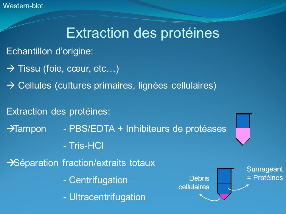Western-blot Dosage des protéines - Méthode du Biuret:- Méthode de Lowry: Réduction du Cu2+ en Cu+ Réaction avec Trp, Tyr, Cys Réduction du réactif de Folin Couleur bleue, pic abs 550 nm(phénolique: jaune en bleue), pic abs 750 nm Peu sensible2-100 µg, zone de linéarité étroite - Méthode de Bradford: Bleu de Coomassie (se lie à Arg, Tyr, Trp, His, Phe) Rouge (abs 470 nm) et bleu lorsque lié aux protéines (abs 595 nm) Très sensible (0,2 – 20 µg), très rapide, interférence avec certains détergents - Méthode BCA Acide bicinchonique Formation complexe coloré avec Cu+ Couleur violette, pic abs à 562 nm Très sensible, rapide, compatible avec les détergents