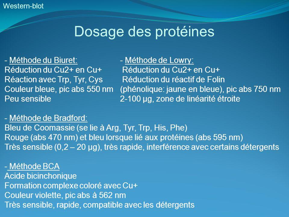 Western-blot Dosage des protéines - Méthode du Biuret:- Méthode de Lowry: Réduction du Cu2+ en Cu+ Réaction avec Trp, Tyr, Cys Réduction du réactif de