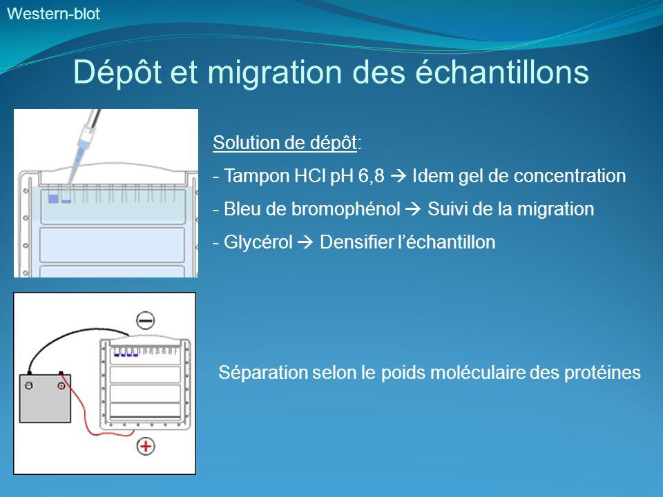 Dépôt et migration des échantillons Solution de dépôt: - Tampon HCl pH 6,8  Idem gel de concentration - Bleu de bromophénol  Suivi de la migration - Glycérol  Densifier l'échantillon Western-blot Séparation selon le poids moléculaire des protéines
