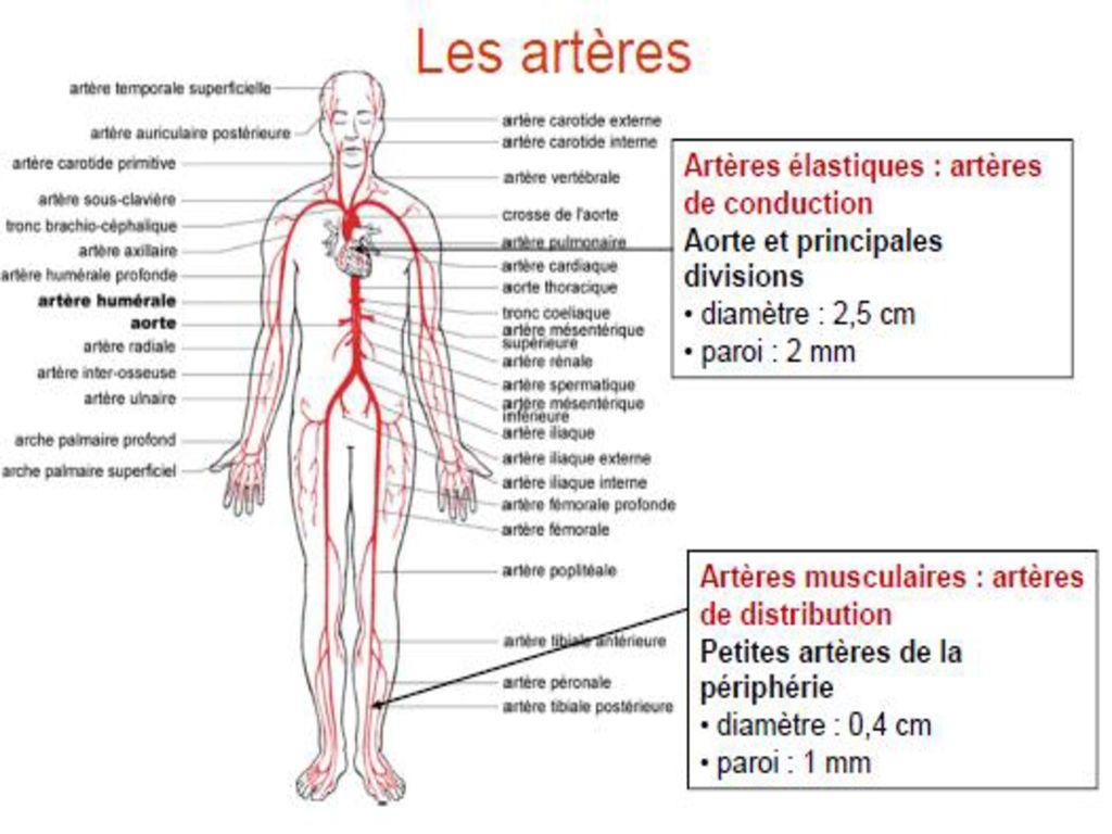 Niedlich Arm Arterielle Anatomie Fotos - Anatomie Ideen - finotti.info