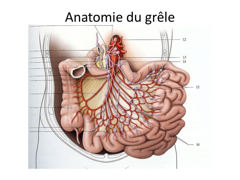 Anatomie du grêle