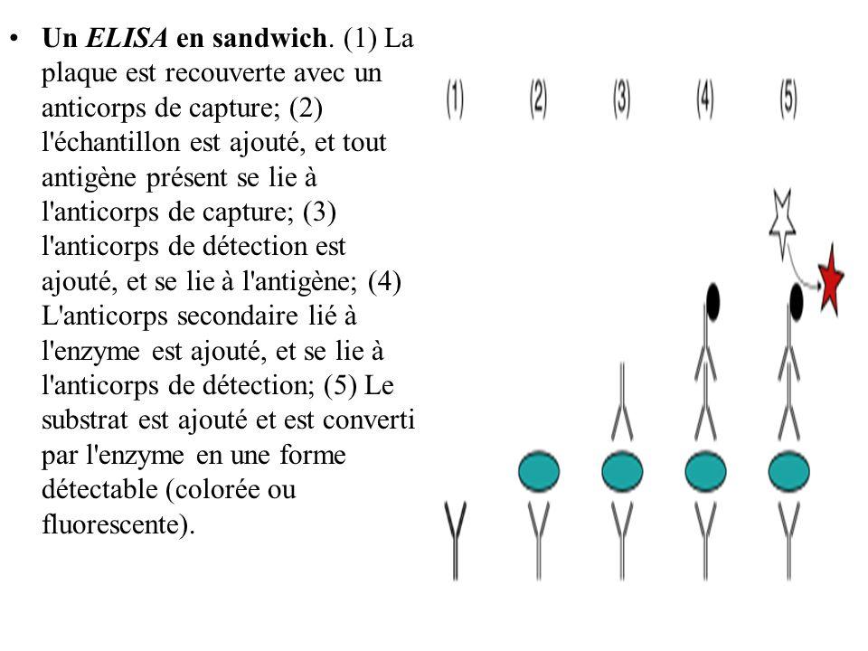 Un ELISA en sandwich. (1) La plaque est recouverte avec un anticorps de capture; (2) l'échantillon est ajouté, et tout antigène présent se lie à l'ant