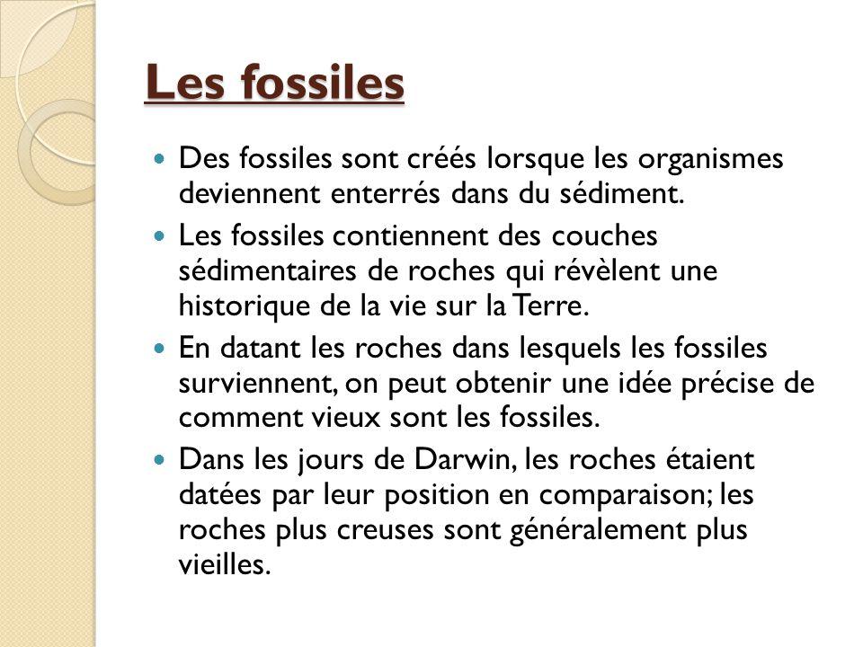 Les fossiles Des fossiles sont créés lorsque les organismes deviennent enterrés dans du sédiment. Les fossiles contiennent des couches sédimentaires d