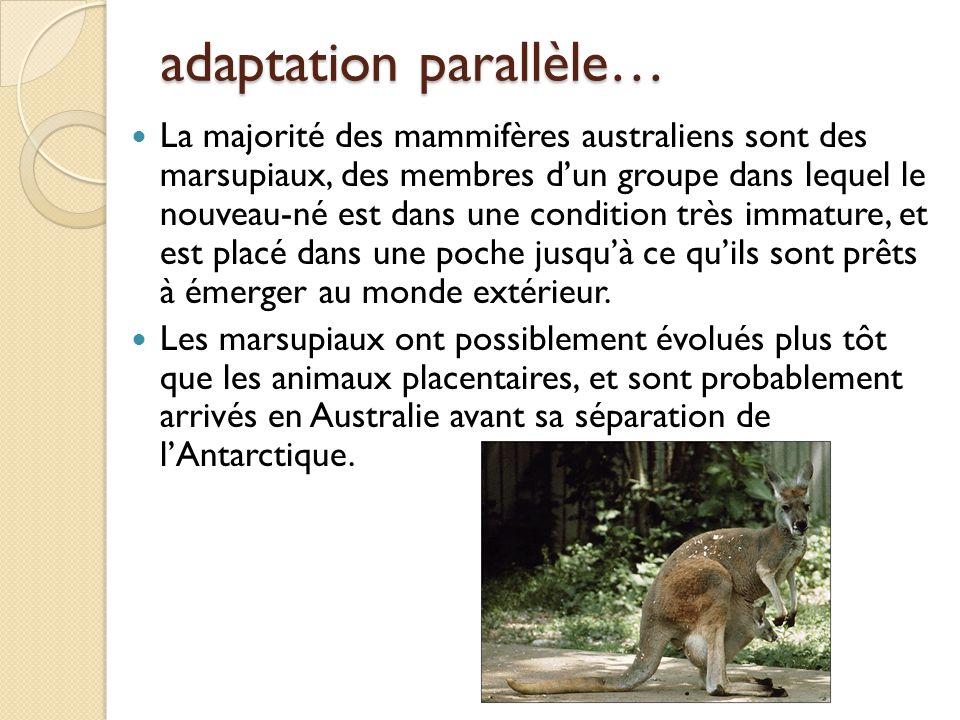adaptation parallèle… La majorité des mammifères australiens sont des marsupiaux, des membres d'un groupe dans lequel le nouveau-né est dans une condi