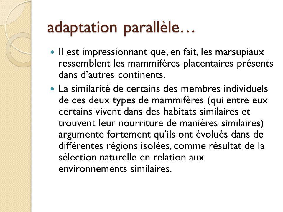 adaptation parallèle… Il est impressionnant que, en fait, les marsupiaux ressemblent les mammifères placentaires présents dans d'autres continents. La