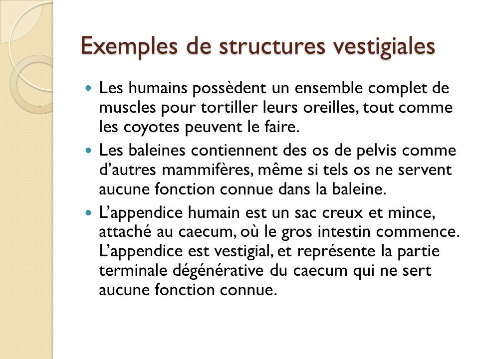 Exemples de structures vestigiales Les humains possèdent un ensemble complet de muscles pour tortiller leurs oreilles, tout comme les coyotes peuvent