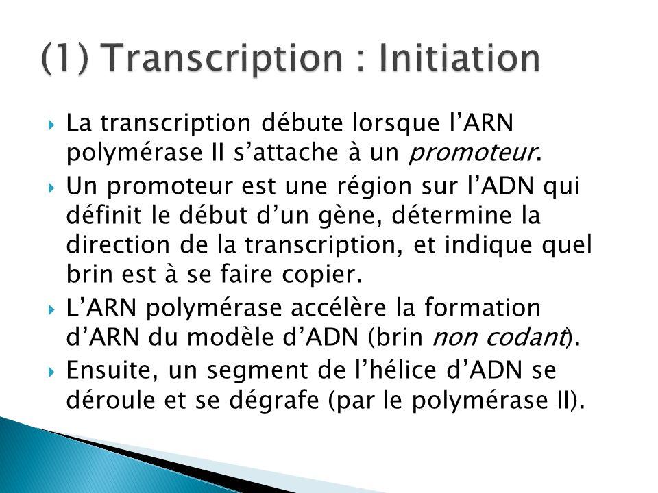  La transcription débute lorsque l'ARN polymérase II s'attache à un promoteur.  Un promoteur est une région sur l'ADN qui définit le début d'un gène
