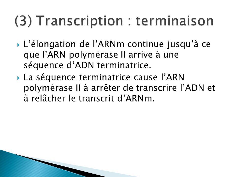  L'élongation de l'ARNm continue jusqu'à ce que l'ARN polymérase II arrive à une séquence d'ADN terminatrice.  La séquence terminatrice cause l'ARN
