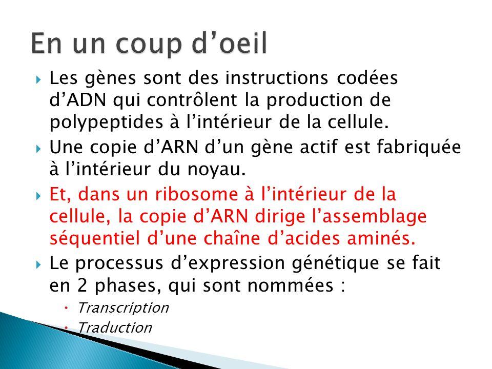  Les gènes sont des instructions codées d'ADN qui contrôlent la production de polypeptides à l'intérieur de la cellule.  Une copie d'ARN d'un gène a