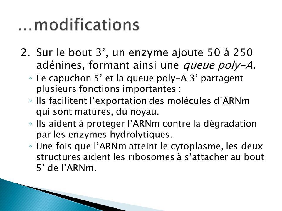 2.Sur le bout 3', un enzyme ajoute 50 à 250 adénines, formant ainsi une queue poly-A. ◦ Le capuchon 5' et la queue poly-A 3' partagent plusieurs fonct