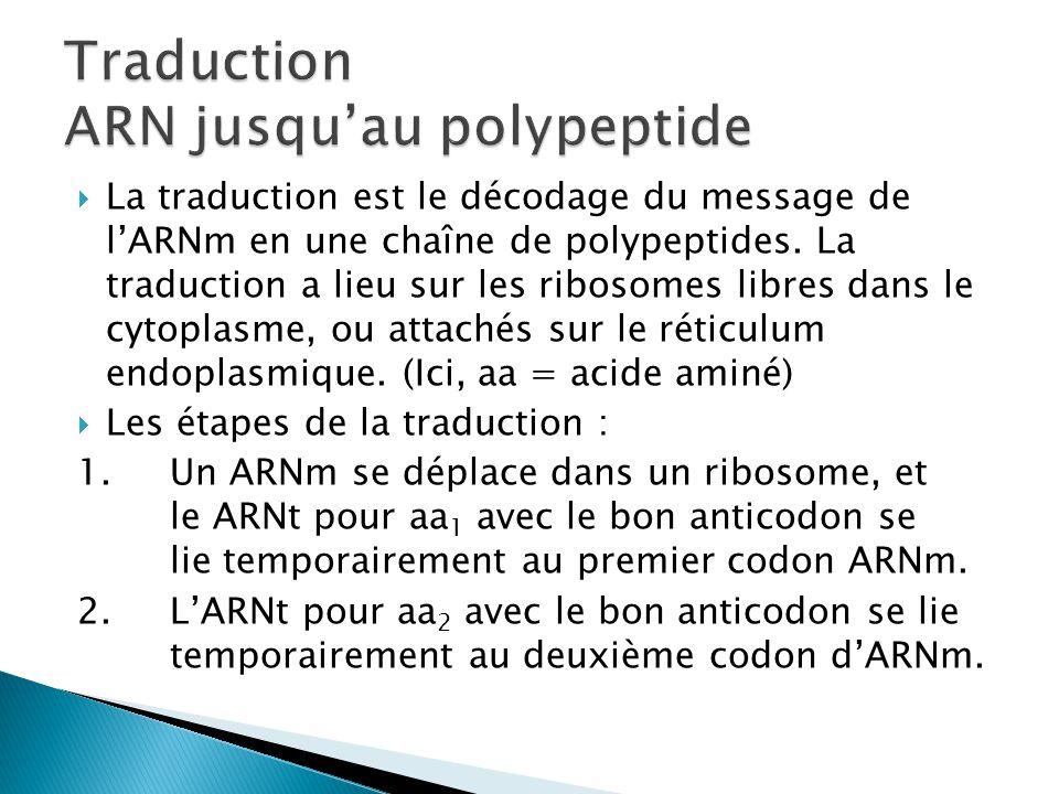  La traduction est le décodage du message de l'ARNm en une chaîne de polypeptides. La traduction a lieu sur les ribosomes libres dans le cytoplasme,