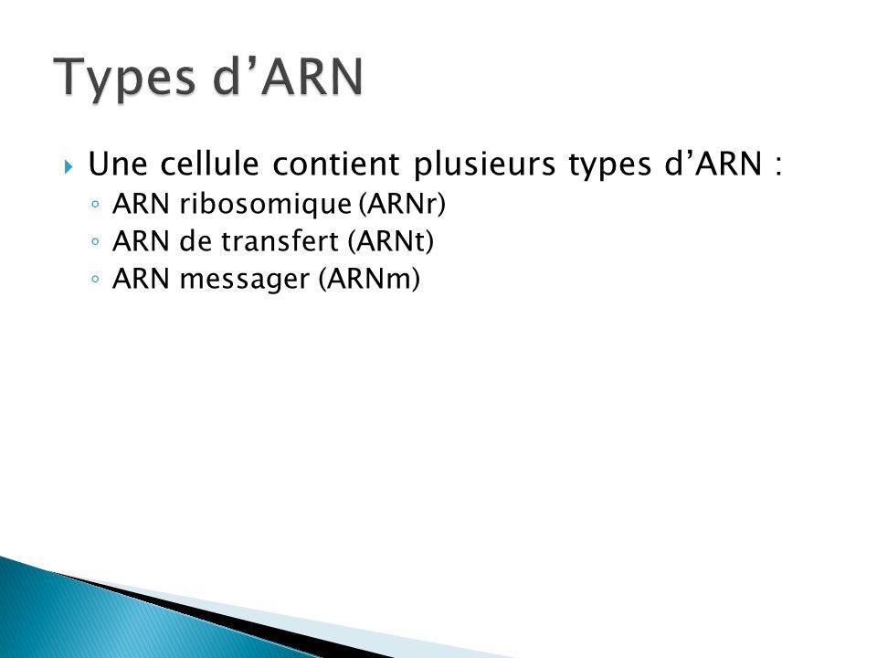  Une cellule contient plusieurs types d'ARN : ◦ ARN ribosomique (ARNr) ◦ ARN de transfert (ARNt) ◦ ARN messager (ARNm)