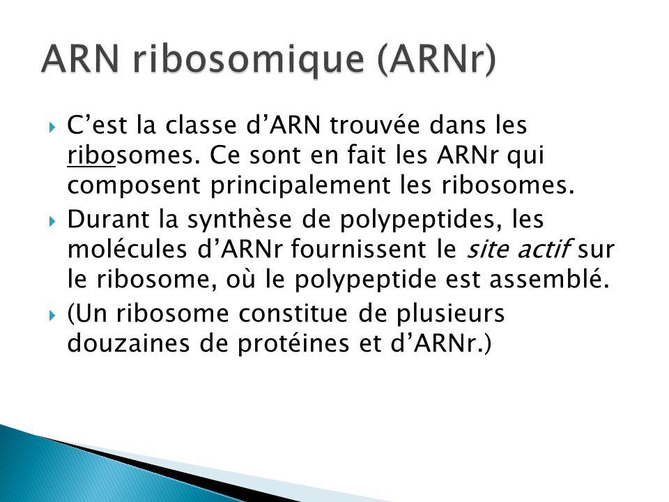  C'est la classe d'ARN trouvée dans les ribosomes. Ce sont en fait les ARNr qui composent principalement les ribosomes.  Durant la synthèse de polyp