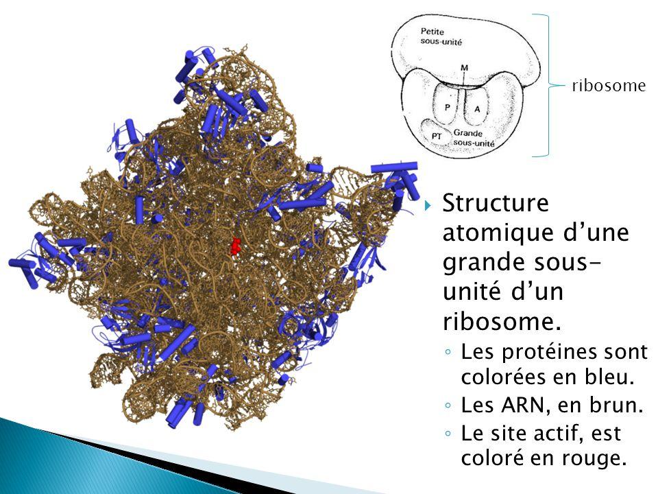  Structure atomique d'une grande sous- unité d'un ribosome. ◦ Les protéines sont colorées en bleu. ◦ Les ARN, en brun. ◦ Le site actif, est coloré en
