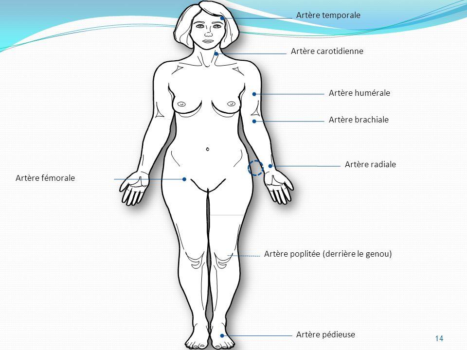 14 Artère temporale Artère carotidienne Artère brachiale Artère radiale Artère humérale Artère poplitée (derrière le genou) Artère pédieuse Artère fém