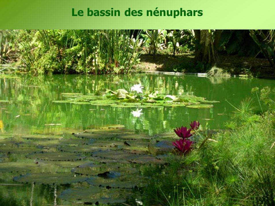 Le bassin des nénuphars