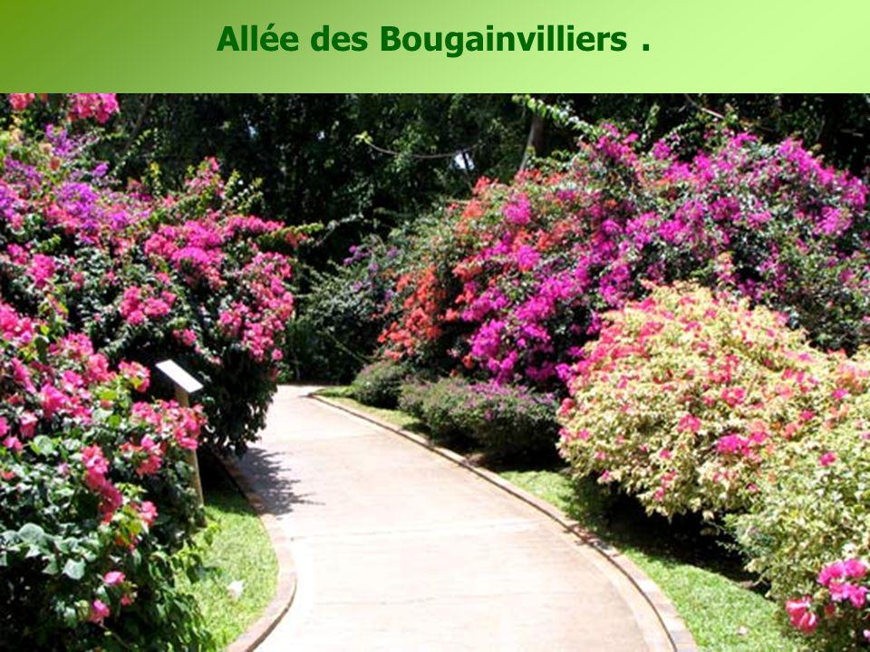 Allée des Bougainvilliers.