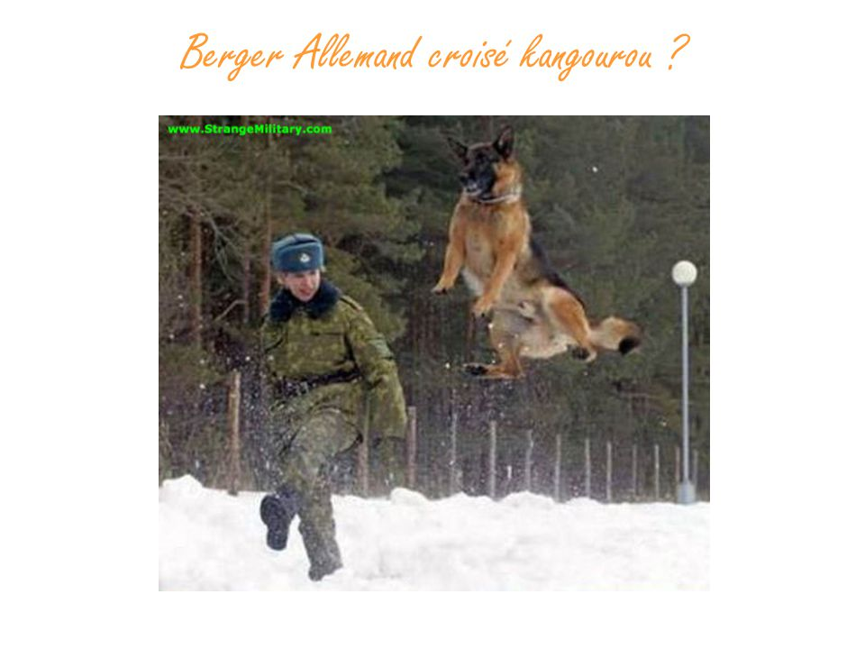Berger Allemand croisé kangourou ?