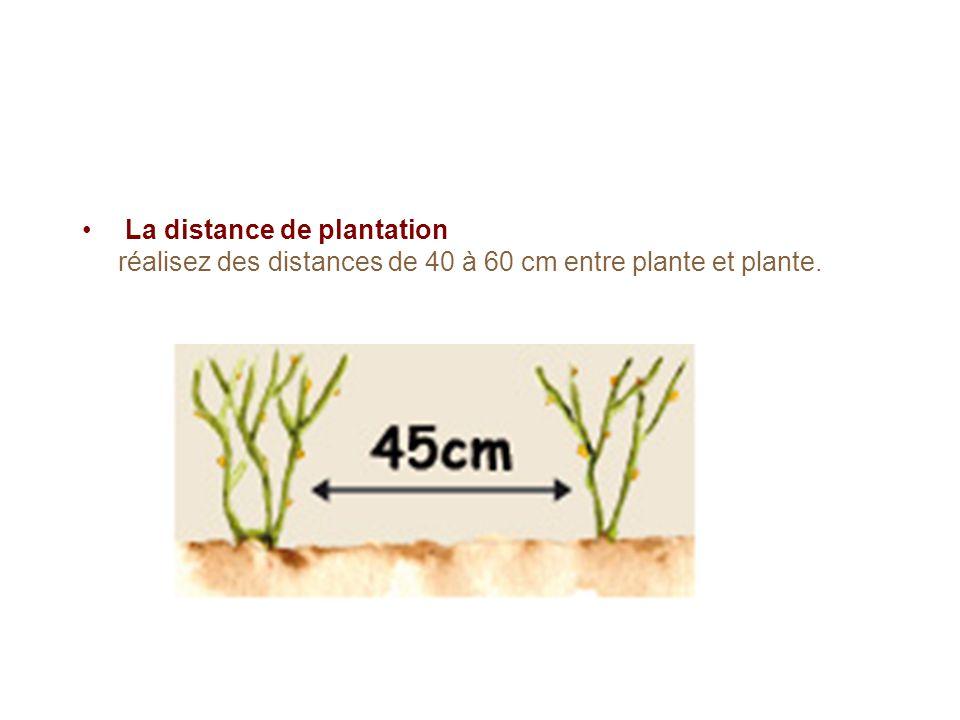 La distance de plantation réalisez des distances de 40 à 60 cm entre plante et plante.
