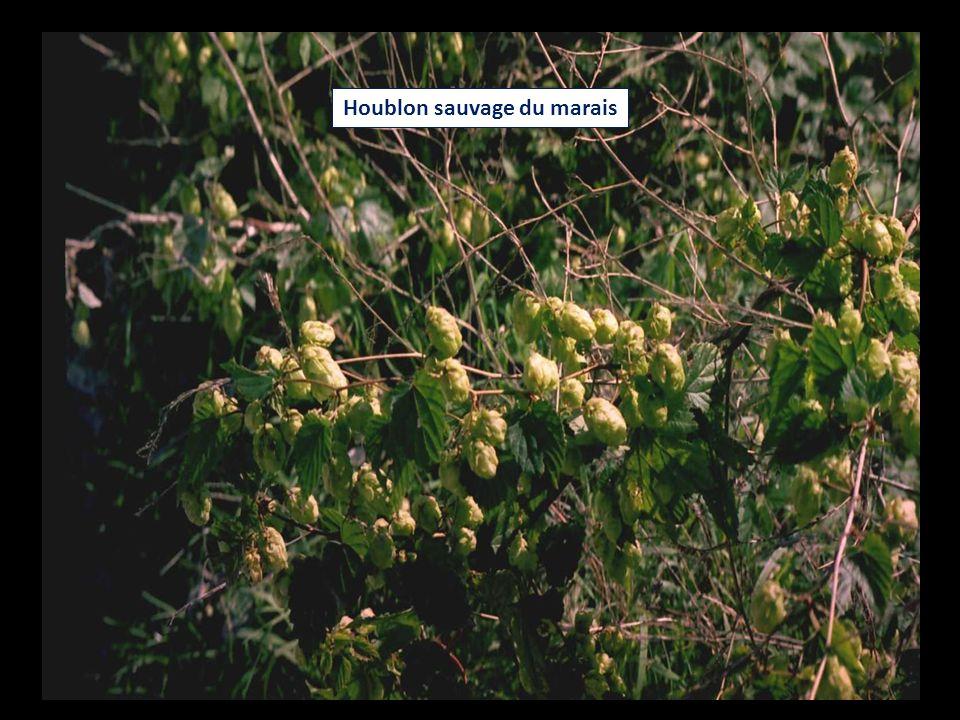 Houblon sauvage du marais
