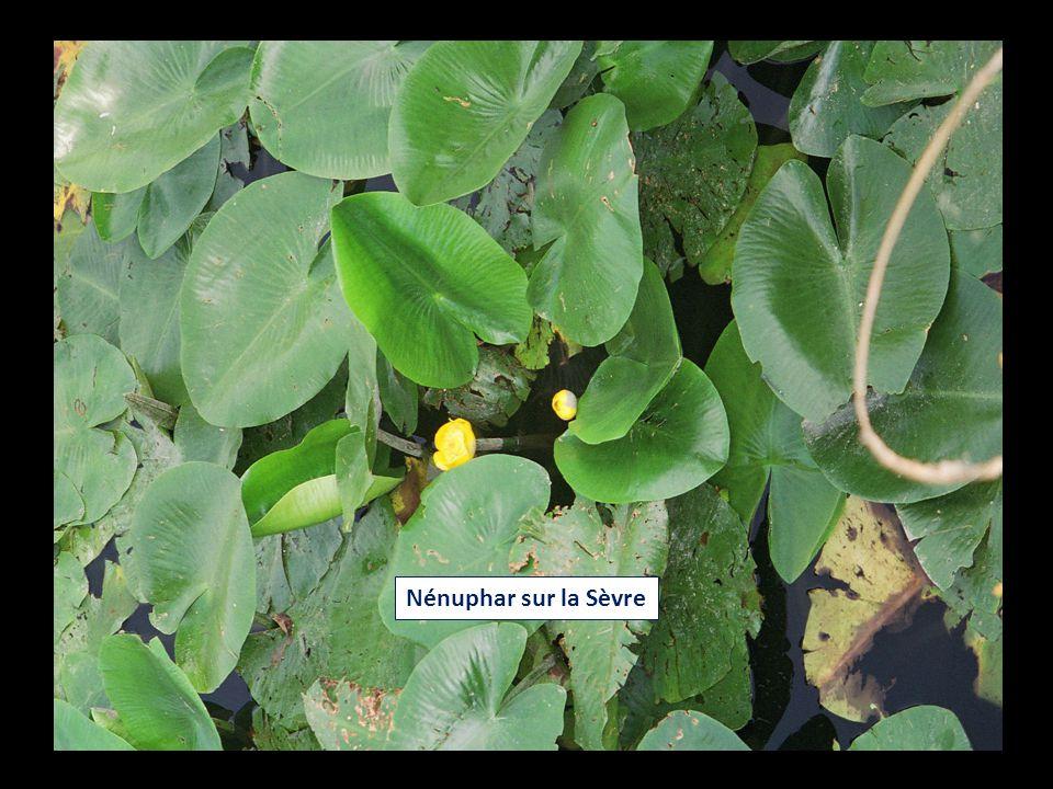 Nénuphar sur la Sèvre