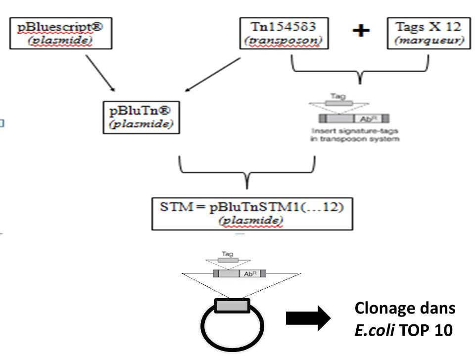 Clonage dans E.coli TOP 10