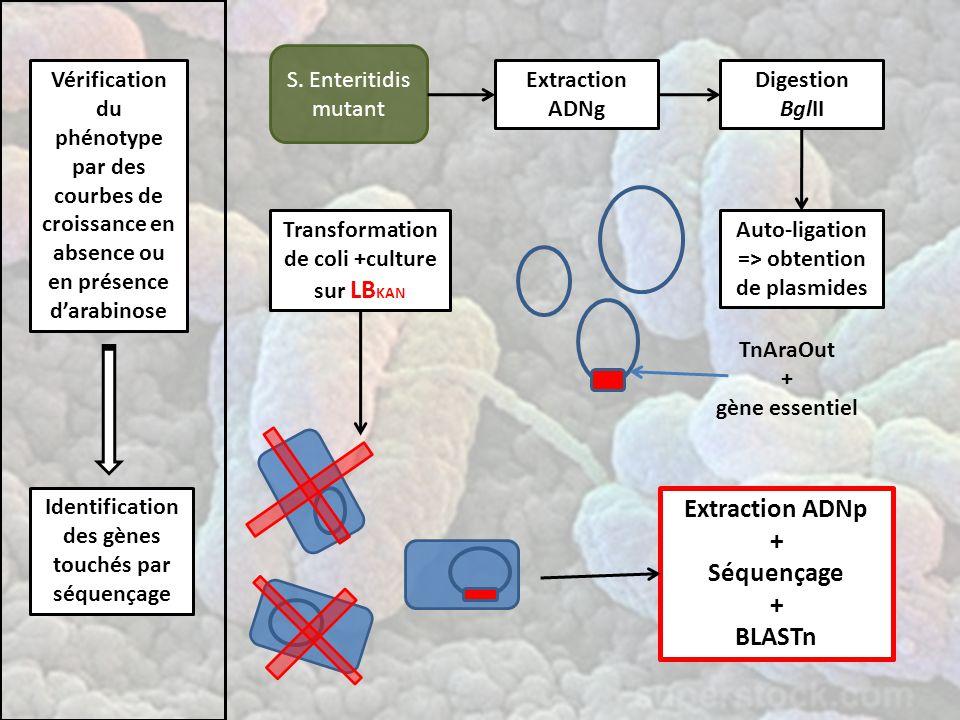 Vérification du phénotype par des courbes de croissance en absence ou en présence d'arabinose Identification des gènes touchés par séquençage S.