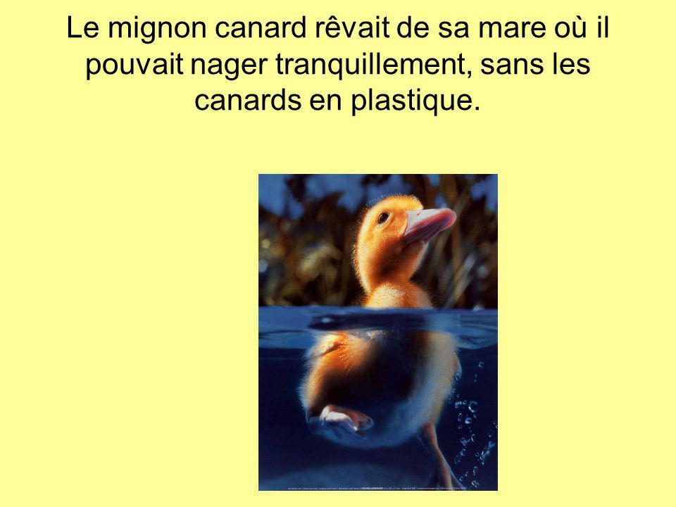 Le mignon canard rêvait de sa mare où il pouvait nager tranquillement, sans les canards en plastique.