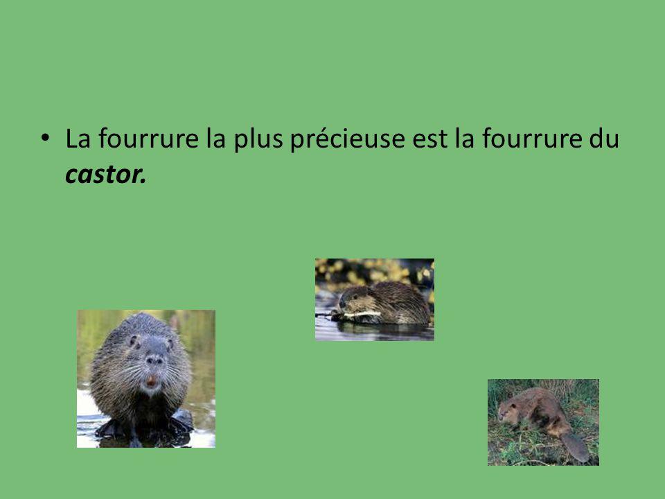 La fourrure la plus précieuse est la fourrure du castor.