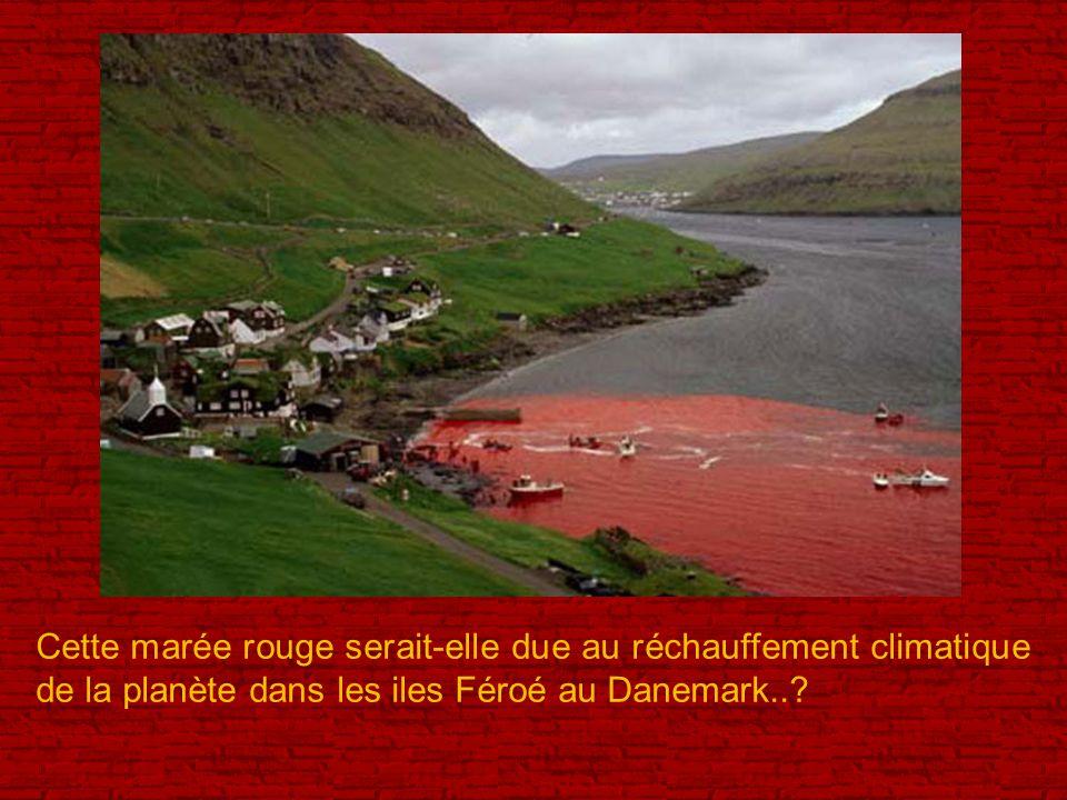 Cette marée rouge serait-elle due au réchauffement climatique de la planète dans les iles Féroé au Danemark..