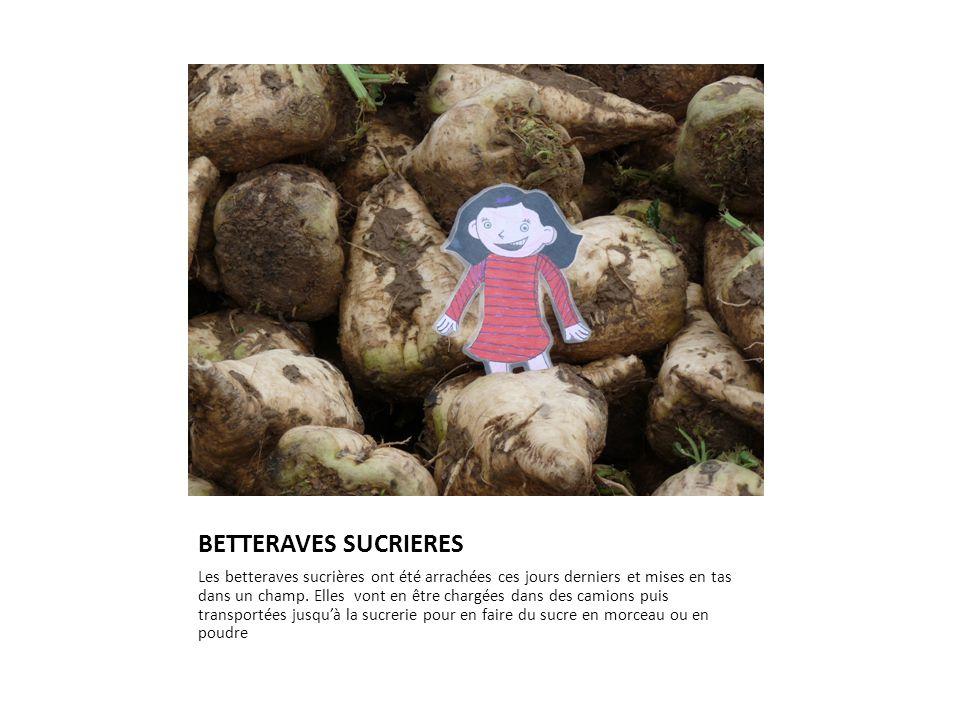 BETTERAVES SUCRIERES Les betteraves sucrières ont été arrachées ces jours derniers et mises en tas dans un champ. Elles vont en être chargées dans des