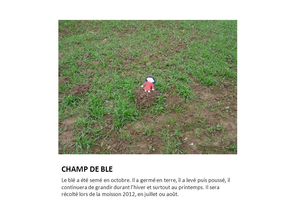 CHAMP DE BLE Le blé a été semé en octobre. Il a germé en terre, il a levé puis poussé, il continuera de grandir durant l'hiver et surtout au printemps