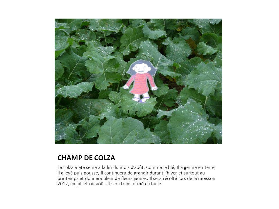 CHAMP DE COLZA Le colza a été semé à la fin du mois d'août. Comme le blé, Il a germé en terre, il a levé puis poussé, il continuera de grandir durant