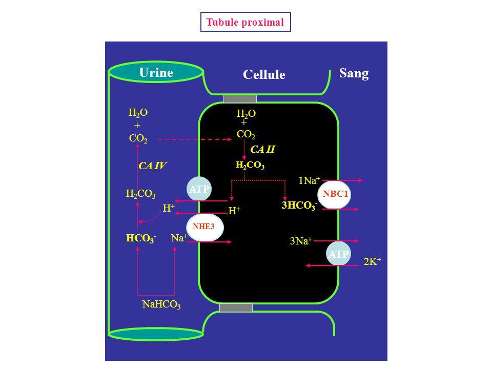 Na + H+H+ ATP 3Na + Cellule Sang Urine 2K + ATP HCO 3 - 1Na + NaHCO 3 H 2 CO 3 CO 2 + H2OH2O H2OH2O + H 2 CO 3 H+H+ 3HCO 3 - NHE3 NBC1 CA IV CA II Tub