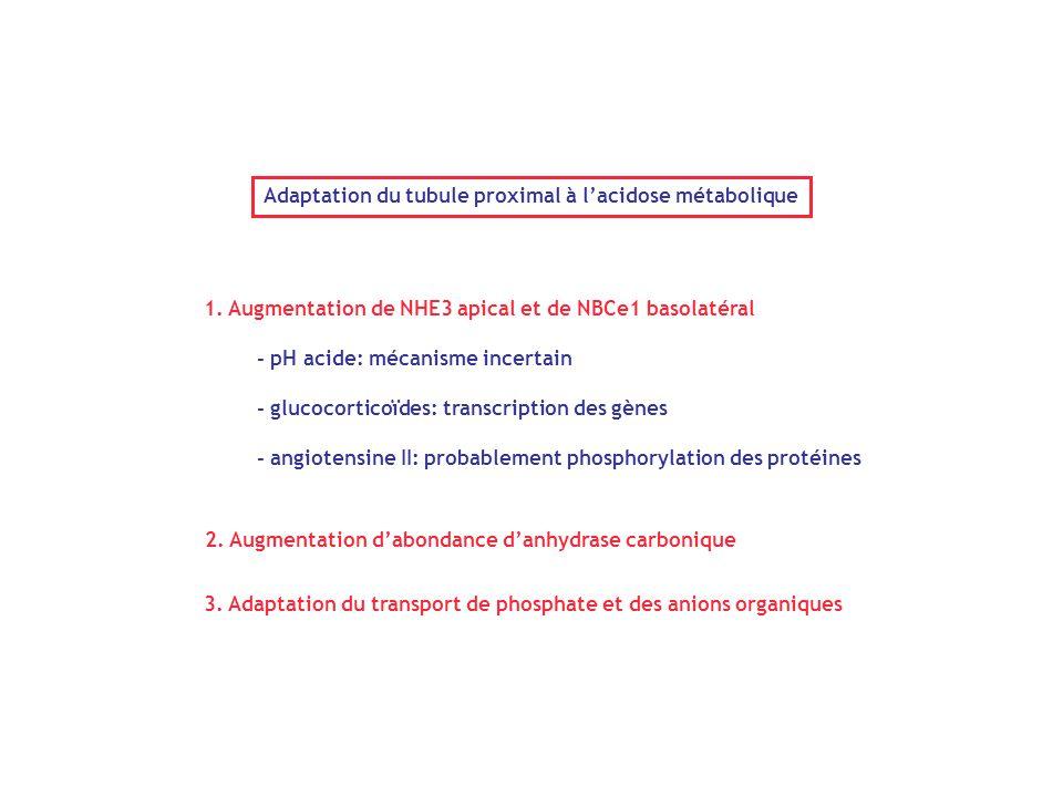 Adaptation du tubule proximal à l'acidose métabolique 1. Augmentation de NHE3 apical et de NBCe1 basolatéral - pH acide: mécanisme incertain - glucoco
