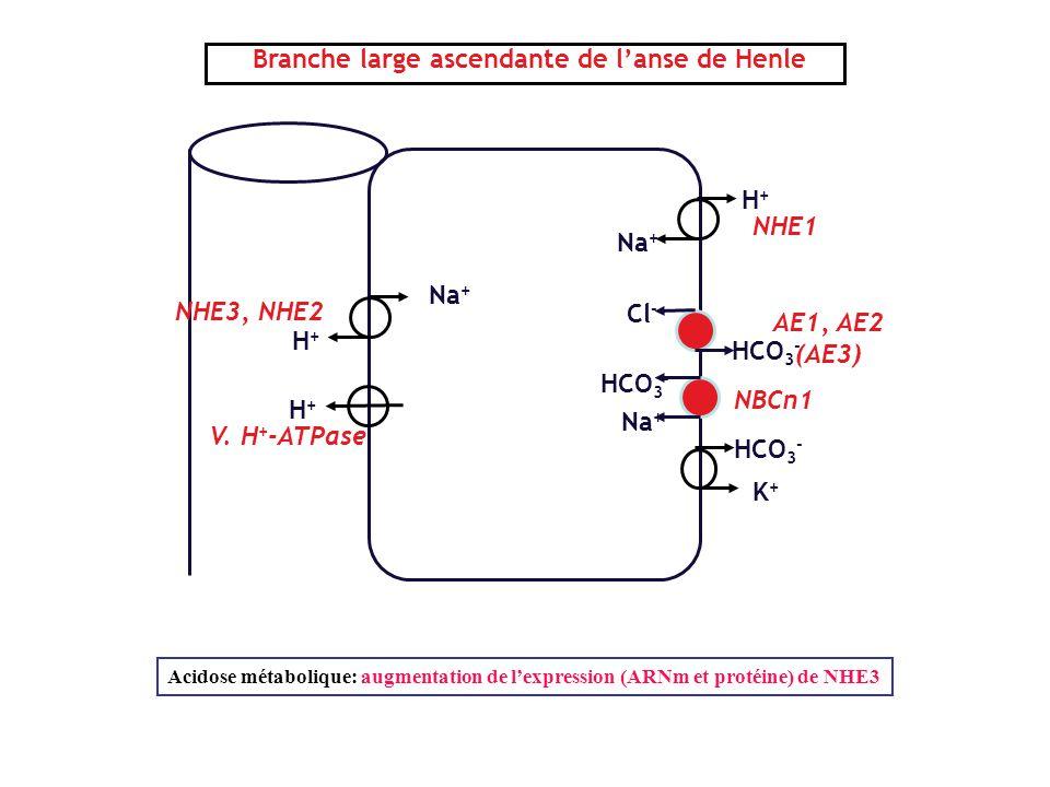 Branche large ascendante de l'anse de Henle HCO 3 - K+K+ H+H+ H+H+ Na + NHE3, NHE2 V. H + -ATPase AE1, AE2 (AE3) Cl - HCO 3 - NBCn1 HCO 3 - Na + H+H+