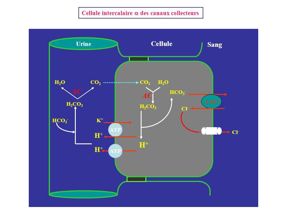 H+H+ Cellule Sang Urine K+K+ H+H+ NH 3 kAE1 Cl - HCO 3 - H 2 CO 3 CO 2 H2OH2O H 2 CO 3 ATP H+H+ AC H2OH2O Cellule intercalaire  des canaux collecteur