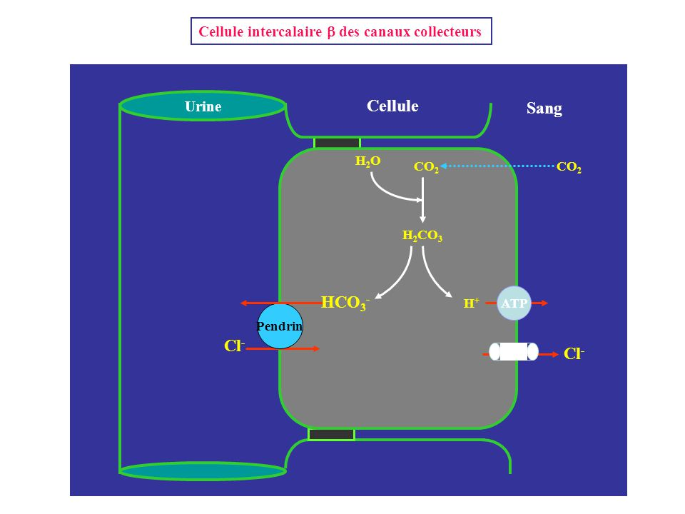 Cellule Sang Urine NH 3 Pendrin Cl - HCO 3 - CO 2 H 2 CO 3 H+H+ ATP H2OH2O CO 2 Cellule intercalaire  des canaux collecteurs