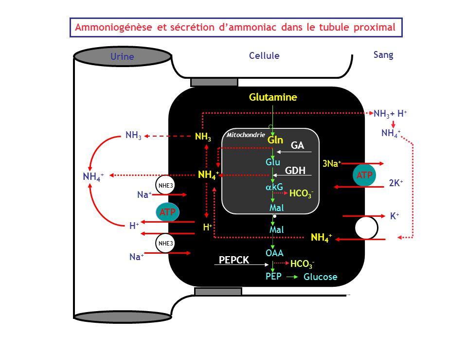 Cellule Sang Urine GA GDH PEPCK Na + NHE3 NH 4 + Na + H+H+ ATP NH 3 NHE3 Ammoniogénèse et sécrétion d'ammoniac dans le tubule proximal ATP 3Na + 2K +