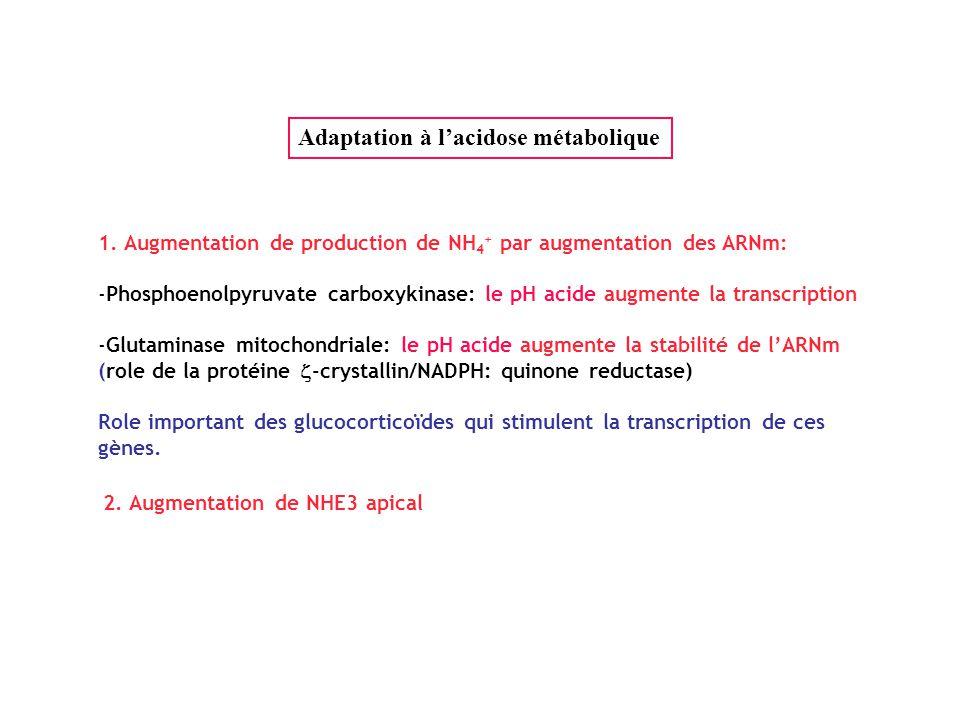 1. Augmentation de production de NH 4 + par augmentation des ARNm: -Phosphoenolpyruvate carboxykinase: le pH acide augmente la transcription -Glutamin