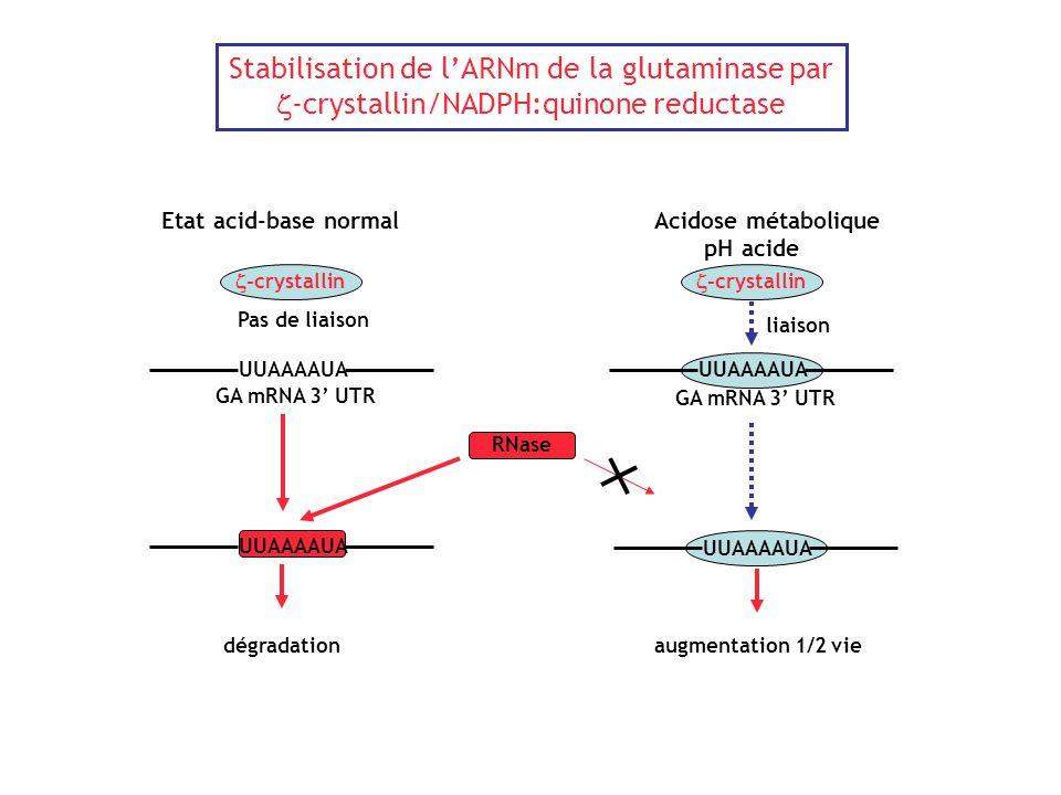Stabilisation de l'ARNm de la glutaminase par  -crystallin/NADPH:quinone reductase Acidose métabolique pH acide UUAAAAUA GA mRNA 3' UTR  -crystallin