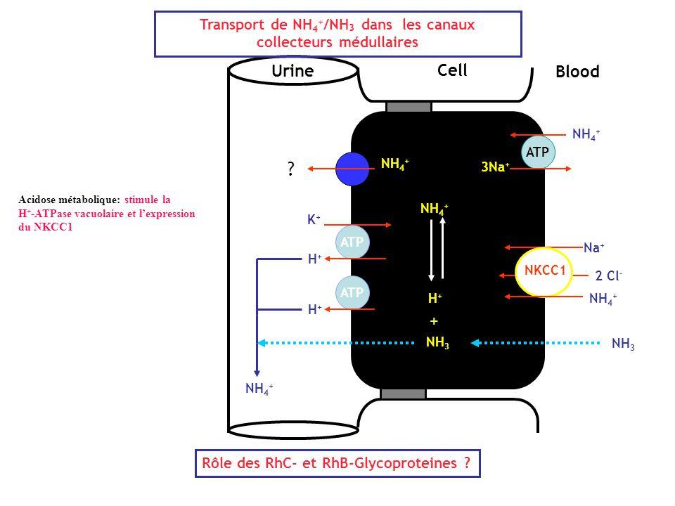Cell Blood Urine ATP 3Na + NH 4 + Na + 2 Cl - NH 4 + NKCC1 NH 3 H+H+ ATP K+K+ H+H+ NH 4 + Transport de NH 4 + /NH 3 dans les canaux collecteurs médull