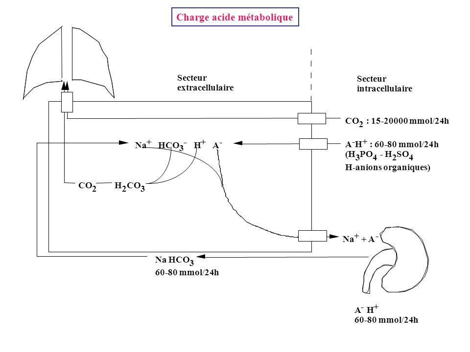Secteur intracellulaire Secteur extracellulaire CO 2 : 15-20000 mmol/24h A - H + : 60-80 mmol/24h (H 3 PO 4 - H 2 SO 4 H-anions organiques) Na + HCO 3