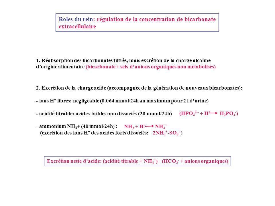 Roles du rein: régulation de la concentration de bicarbonate extracellulaire 1. Réabsorption des bicarbonates filtrés, mais excrétion de la charge alc