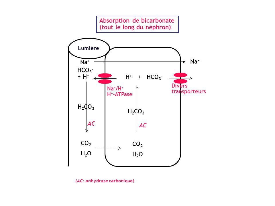 Lumière Absorption de bicarbonate (tout le long du néphron) H + + HCO 3 - HCO 3 - + H + CO 2 H 2 O CO 2 H 2 O Na + /H + H + -ATPase H 2 CO 3 Divers tr