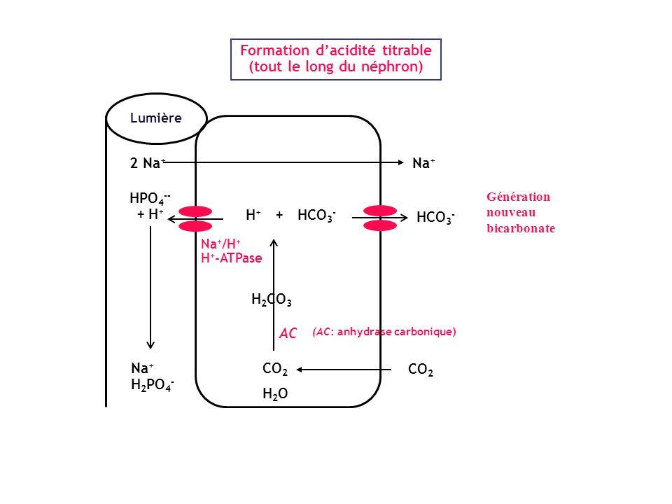 Lumière H + + HCO 3 - HPO 4 -- + H + CO 2 H 2 O Na + /H + H + -ATPase Na + H 2 PO 4 - H 2 CO 3 AC Formation d'acidité titrable (tout le long du néphro