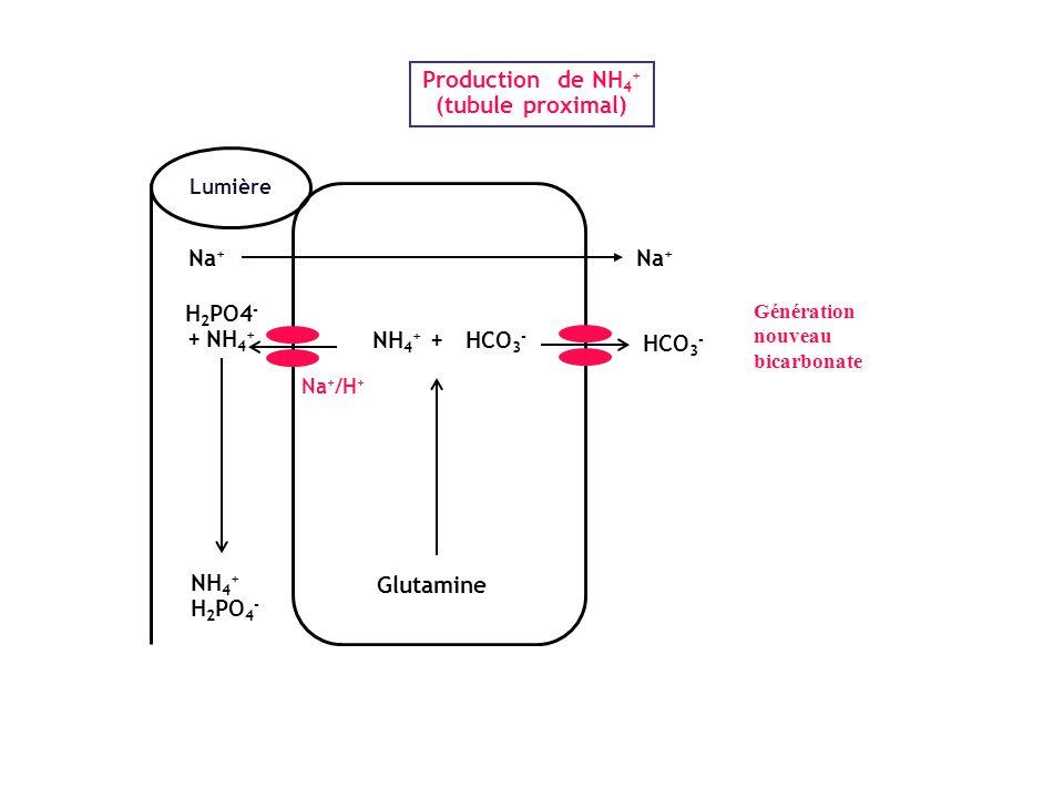 Production de NH 4 + (tubule proximal) Lumière NH 4 + + HCO 3 - H 2 PO4 - + NH 4 + Glutamine Na + /H + NH 4 + H 2 PO 4 - HCO 3 - Na + Génération nouve